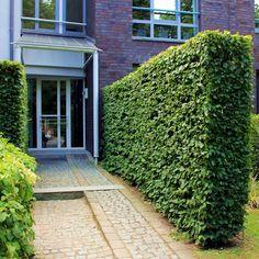 Buy hornbeam, Carpinus betulus, hornbeam hedge cheap online - Hornbeam hornbeam – Carpinus betulus – Buy hornbeam hedge from the nursery online -