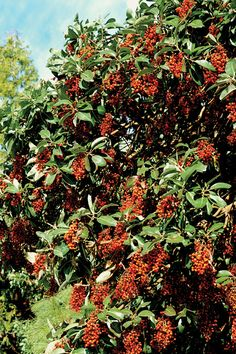 Madrone Berry recipes -- Wild Granola, Madrone berries with veggies and rice, ground madrone berries, and other uses Arbutus Tree, Wild Edibles, Evergreen Trees, Mixed Media Artwork, Types Of Plants, Drought Tolerant, Habitats, Herbalism, Berries