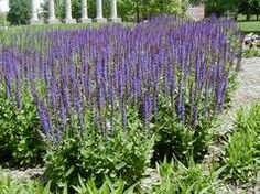 Meadow sage - Salvia nemorosa 'Ostfriesland' EAST FRIESLAND  - does not spread