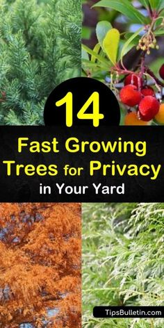 Choose fast growing trees based on the growth rate and projected mature height. See how to use privacy trees, such as the Leyland Cypress, to protect your yard or how to turn a fast growing evergreen into a natural privacy screen. Fast Growing Evergreens, Fast Growing Trees, Sky Pencil Holly, Strawberry Tree, Privacy Trees, Tree Base, Love The Earth, Natural Health Tips, Types Of Soil