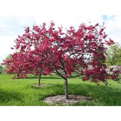 Malus Liset - Red Crab Apple Blossom