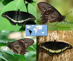 Gold Rim Swallowtail   Battus polydamas    Wingspan:  3.5 to 4.5 in Family: Papilionidae   Subfamily: Papilioninae   Tribe: Troidini  Photos © Ryan G. Fessenden
