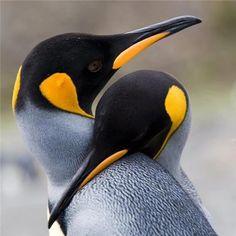 Penguin love...
