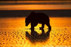 Bear silhouetted by the setting sun.