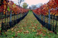 Vineyard | Seewinkel | Burgenland | Austria Austria, Vineyard, Country, Travel, Outdoor, Cottage House, Vacations, Outdoors, Viajes