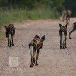 2 Tanda Tula, Wild Dogs, African Safari, Wildlife, Gallery, Pictures, Animals, Photos, Animales