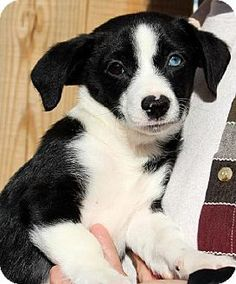 Yardley, PA - Dachshund/Chihuahua Mix. Meet Harvey I ~B, a puppy for adoption. http://www.adoptapet.com/pet/12069164-yardley-pennsylvania-dachshund-mix