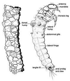 drawing of a caddis fly larva