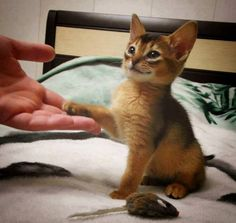 Abyssinians are such paw-users that SHAKE is an easy cue to learn. (And if you bring home a package of those little fur mice, you will find them EVERYWHERE in your house.)