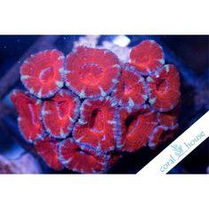 Ultra Acanthastrea Sp. WYSIWYG