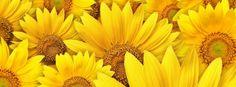 Sunflowers Background Facebook Cover Facebook Timeline Cover