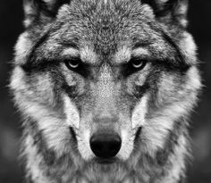 le loup sauvage