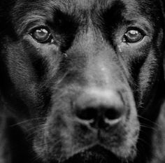 """""""There is an aspect of commitment to the gaze. To see and be acknowledged is a vital necessity. That´s how one sees oneself. One is no longer human if one loses the ability to identify, if one does not see the other."""" Per Maning Labrador Retriever, Illustration Art, Black And White, Dogs, Photography, Events, Projects, Pictures, Labrador Retrievers"""