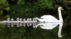 cisne-branco-filhotes-wallpaper