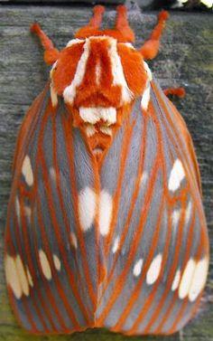 saturniidae moth - Поиск в Google