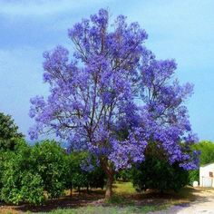 Blue Jacaranda Tree Seeds (Jacaranda mimosifolia)