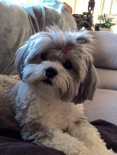 Shih Poo Animals And Pets, Funny Animals, Cute Animals, Havanese Haircuts, Shih Poo, Funny Animal Photos, Dog Items, Khaleesi, Pet Stuff