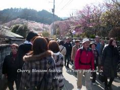 Japan's Cherry Blossoms Elementary Lesson