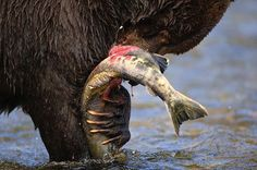 Photo @paulnicklen // A large male bear happily devours a chum salmon. Every bear has its own style of hunting. I always learn something of value when I hang out with these top predators in their environment.