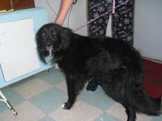 8182 is an adoptable Collie Dog in Portsmouth, OH. this is a male possible collie/retriever mix, black with white coloring long hair and a medium large size, a beautiful and friendly boy     Our adopt...