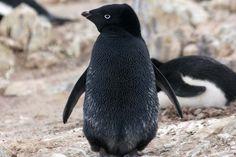 black penguin...