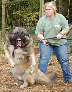 Caucasian Shepherd  temperament