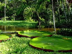 Amazon river in peru, its #crazybeautiful . I'm overly obsessed with the lily pads here!!