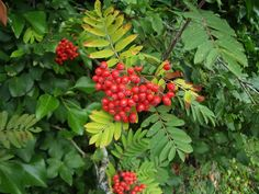 Is the rowan (Sorbus aucuparia) your favourite Scottish plant? Vote now www.rbge.org.uk/big5