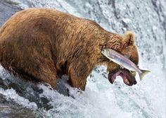 """<P>""""Grizzlybeer faalt"""" </P>"""