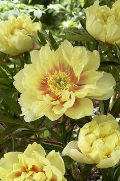Peony Paeonia Sp Bartzella Variety Print By Visionspictures