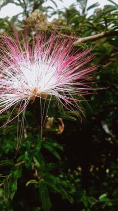 É uma flor, a flor mais fofa e delicada que já vi. Ela é tota bela de sua maneira, e tão sensível que até uma simples chuva a destrói.