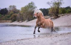 Fjordpferd Irino by Claudia Rahlmeier on Cute Horses, Pretty Horses, Beautiful Horses, Animals And Pets, Cute Animals, Fjord Horse, Horse World, Draft Horses, Horse Pictures