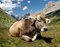 Upphettade mjölkprodukter är skadliga, rå mjölkprodukter från gräsätande dyr är nyttiga