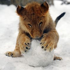 The big freeze in Europe continues - A lion cub plays with a snowball at the Belgrade Zoo in Serbia
