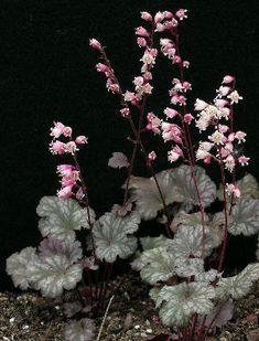 HEUCHERA—The coralbells - 'Petite Marbled Burgundy'