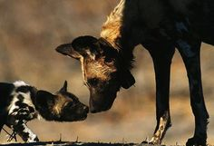 "AFRICAN WILD DOG and Pup Lycaon pictus ©Chris Johns / National Geographic Nose to nose, a curious youngster approaches an adult African wild dog. The scientific name ""Lycaon pictus"" is derived from the Greek for ""wolf"" and the Latin for ""painted"". African Hunting Dog, African Wild Dog, Hunting Dogs, Amazing Animals, Animals Beautiful, Baby Animals, Cute Animals, Wild Animals, Fennec"