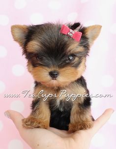 Little Itty Bitty Teacup Yorkie Puppy <3  #teacups #puppies #yorkies
