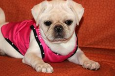 """Fairytailpuppies """"where pets are family too - PARIS"""