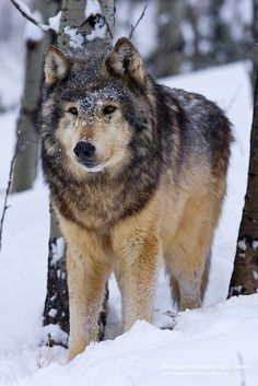 Timber Wolf (Canis lupus) - USA by Anaspides Photography - Iain D. Williams**