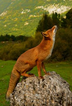 Fox by marco branchi - Photo 85773549 / 500px