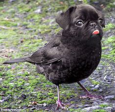 Proof That Some Species Should Never Mate With Others… - Dirds:The Pale-breasted Pug - ? Animal Mashups, Animal Memes, Bizarre Animals, Animals And Pets, Baby Animals, Pugs, Tierischer Humor, Photoshopped Animals, Ipad Art