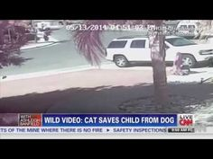 Cat Saves Boy From Dog Attack In Bakersfield AMAZING VIDEO: Cat saves boy.  Guess the dog doesn't know about the evolution of cats.
