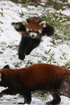 Red Panda Displays Ninja Moves In Greatest Red Panda Picture Ever