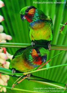 A funny parrot can be so cute. Check out these funny parrot videos. Contains some funny parrots dancing, some funny parrots talking or better said, imitating, Parrot Pet, Parrot Bird, Exotic Birds, Colorful Birds, Pretty Birds, Beautiful Birds, Talking Parrots, Funny Parrots, Toucan