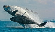 A mother humpback whale and her calf breach.  This reminds me of when I was encouraging my son to jump in the lake.  I see this mama encouraging her calf to jump into the air.  :)