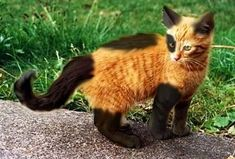 Orange cat with black legs and tail