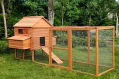 -The Rhode Island Homestead 10-15 Chickens-