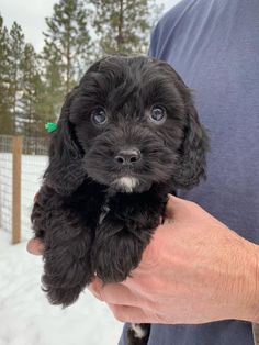 Discover Cavapoo puppies from Pinewood Cavapoos in Washington. Find the right dog for you on Good Dog. Havapoo Puppies, Cavapoo Dogs, Cavapoo Puppies For Sale, Cute Puppies, Cute Dogs, Shih Poo, Dogs For Sale, Creature Feature, Cute Animal Pictures