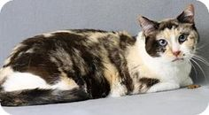 Blackwood, NJ - Domestic Shorthair. Meet Chelsea, a cat for adoption. http://www.adoptapet.com/pet/16999214-blackwood-new-jersey-cat