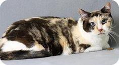 Blackwood, NJ - Domestic Shorthair. Meet Chelsea, a cat for adoption. http://www.adoptapet.com/pet/16999214-blackwood-new-jersey-cat